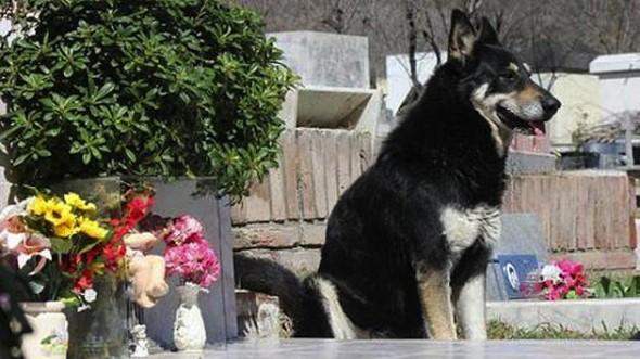 Capitan: Dog Ran Away From Home to Find His Dead Master's Grave - and Has Stayed by its Side for SIX Years!